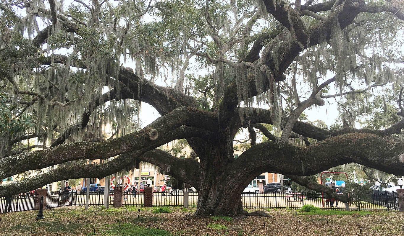 Baranoff Oak Tree next to Water Oak Grill